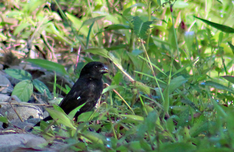 Variable Seedeater male