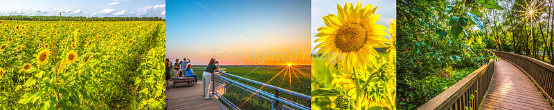 Columbia Bottom Conservation Area - Sunflowers & Sundown