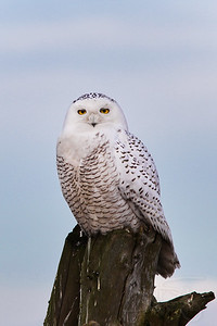 1.19.12 Snowy Owl. Boundary Bay Provincial Park, BC. 2012 was a year where large numbers of the owls appeared in the Park.
