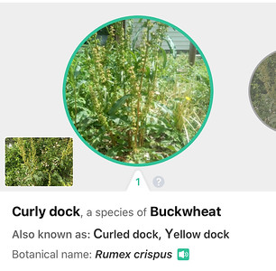 14. BUCKWHEAT KNOTWEED FAMILY