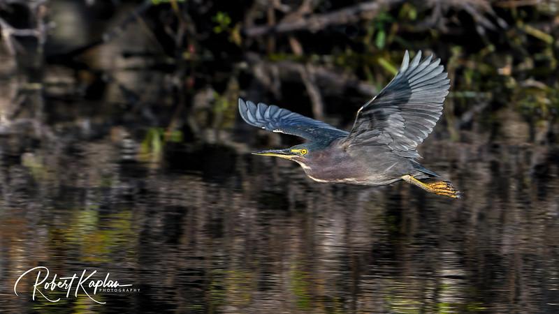 Green Heron-8806.jpg