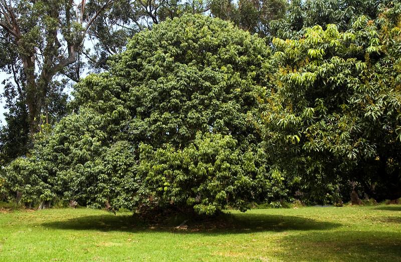Avocado Trees  100322.150141