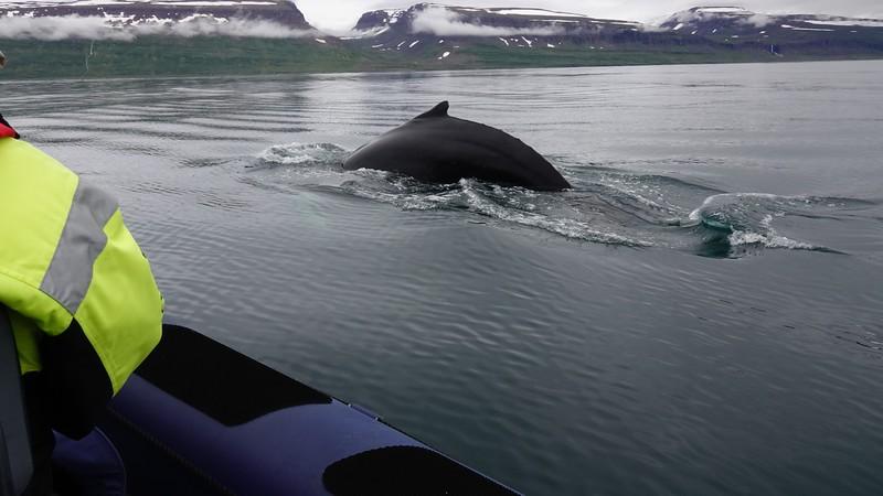 whale isafjordur 1.jpg