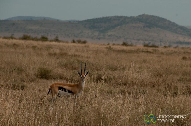 Male Thomson Gazelle - Serengeti, Tanzania