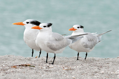 Mar. 27, 2011 - Terns on Sanibel Island