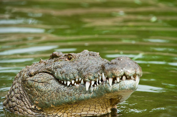 Nile Crocodiles - The Best Mothers