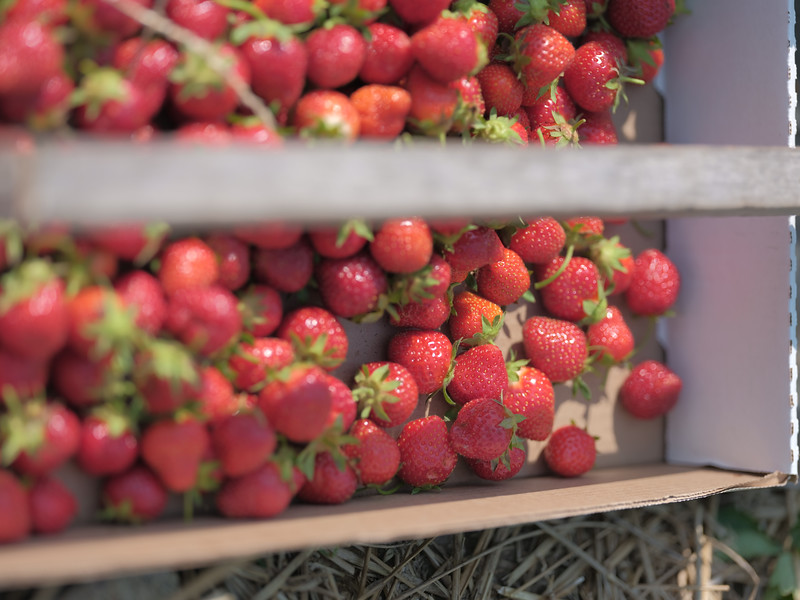 June 17, 2018 - Strawberry Picking for Fathers Day-211.jpg