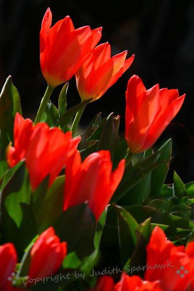 The Tulip Garden