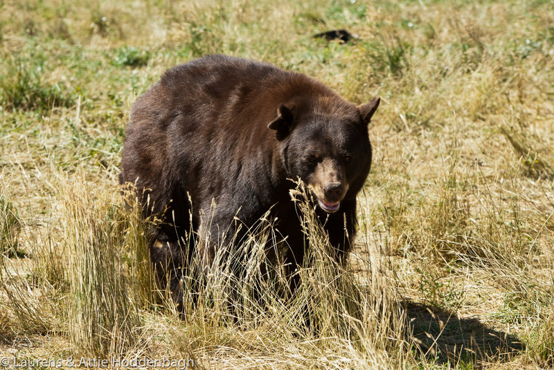 Bear in Black Hills, SD