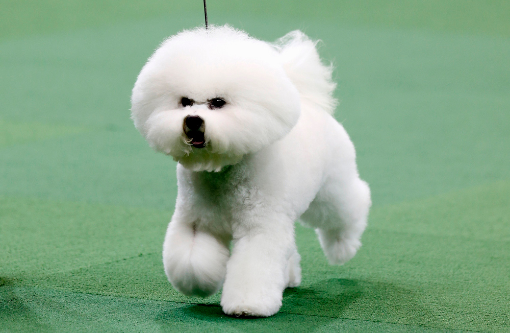 . Honor, a Bichon Frise from Goshen, Indiana, winner of the Non-Sporting Group, runs during competition at the 137th Westminster Kennel Club Dog Show at Madison Square Garden in New York, February 11, 2013. Honor will advance to the Best in Show competition on February 12.  REUTERS/Mike Segar