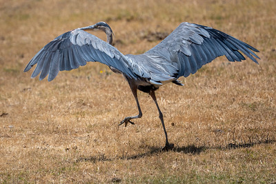 2021_7_4 Great blue heron in rural Davis