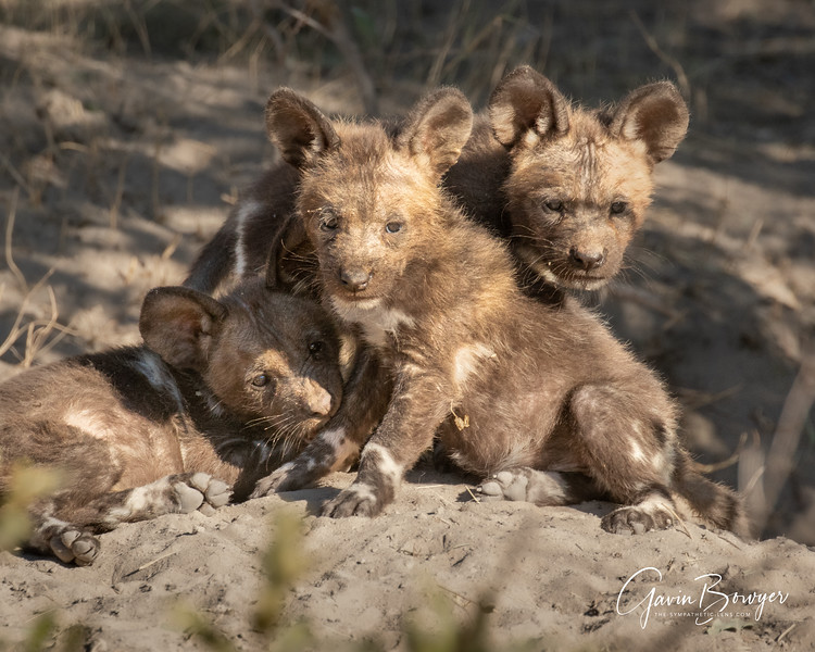 Wild Dogs Botswana-7.jpg