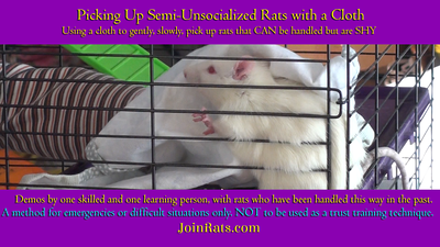 Use a Cloth to Handle Semi-Unsocialized Rats In an Emergency