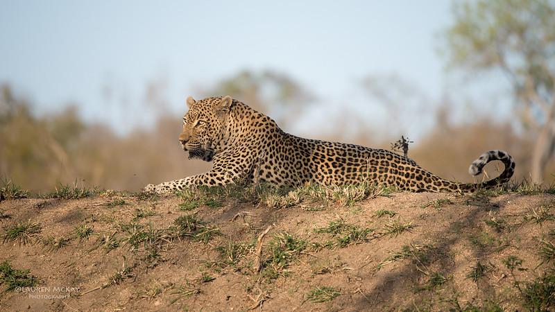 Leopard (Tingana), Sabi Sands (EP), SA, Oct 2016-3.jpg