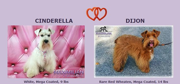 Cinderella & Dijon Puppies, DOB 3/11/2020