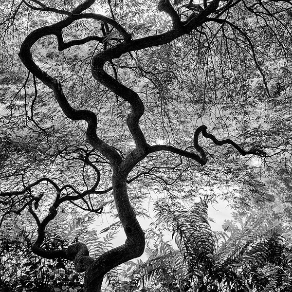 japanese-maple-ii.jpg