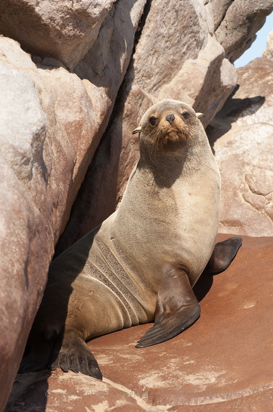 Lone Seal basking on the rocks - Skeleton Coast, Namibia