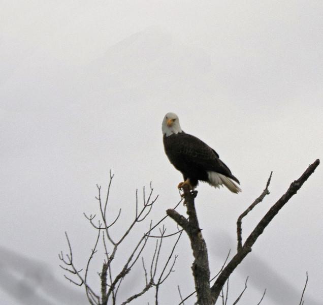 Eagle 51
