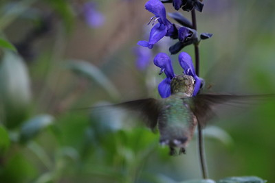 Backyard Hummingbirds August 20-22+24-26+29   2019