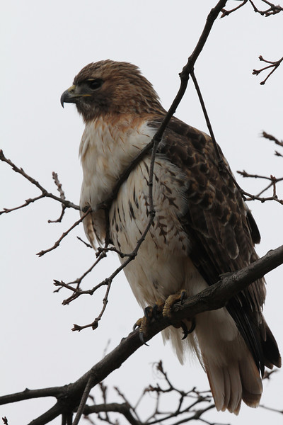 March Red Tailed Hawks