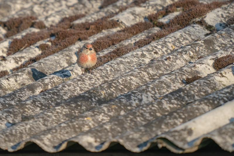 makolągwa   common linnet   linaria cannabina