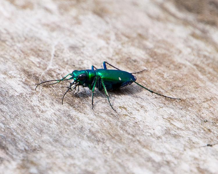 Ground Beetle, Green - Unidentified - C6557