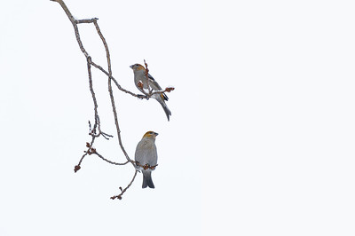 Pine Grosbeaks  Taken Dec. 3, 2011 Elk Island Retreat Near Fort Saskatchewan, Alberta