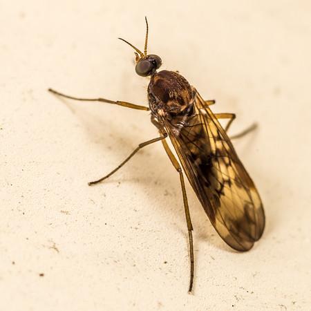 Wood gnats (Anisopodidae)