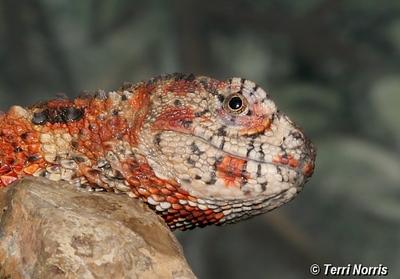 lizard_npn_5197.jpg