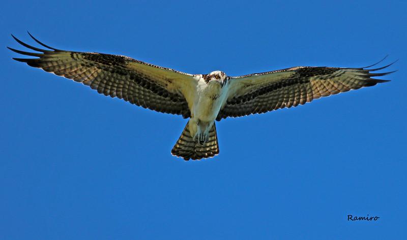 Osprey2 IMG_5430.jpg