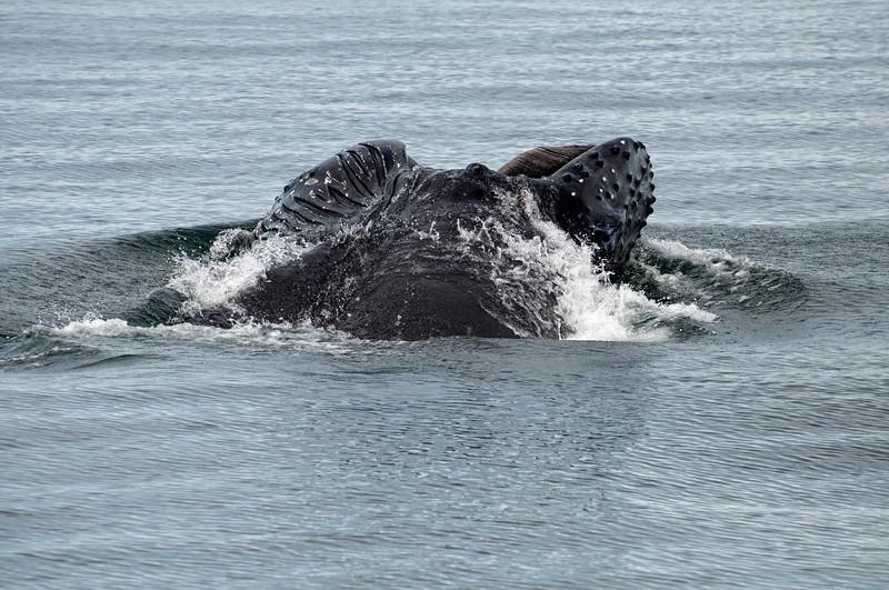 Gulp feeding by a humpback on krill in Alaskan waters.