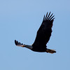 Bald eagle at Assateague Island National Seashore