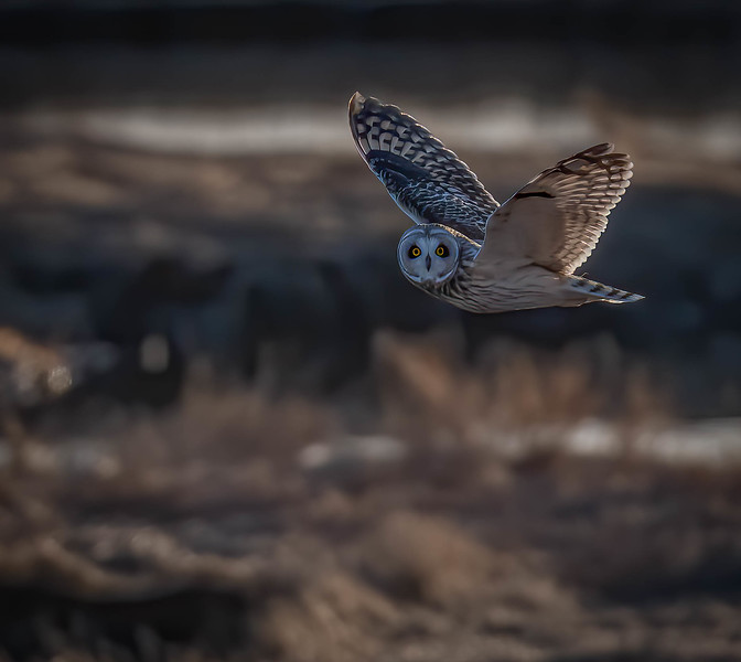 Short-eared Owl flyby tight crop