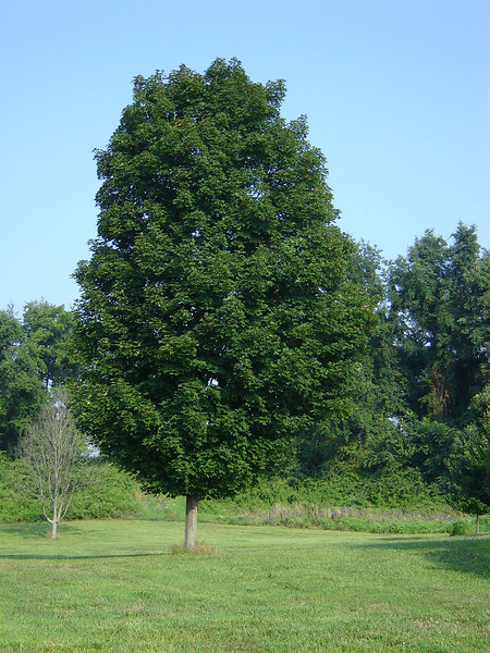 Acer saccharum Columnar