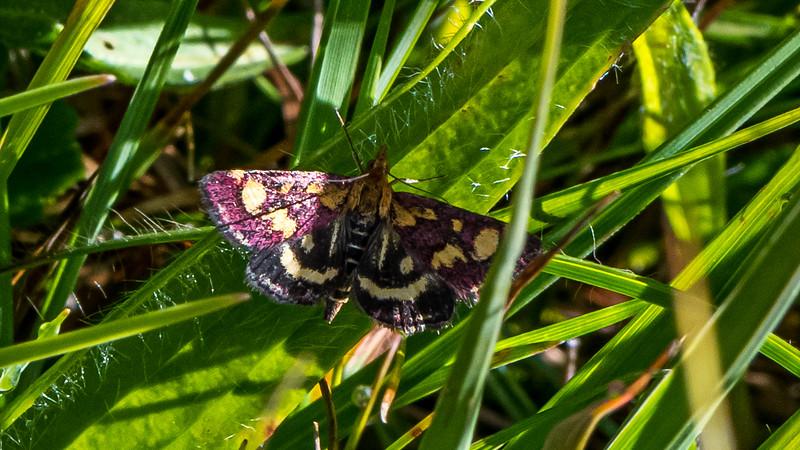 Common Crimson-and-Gold Moth