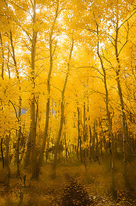 Yellow Aspen trail in the Eastern Sierra.