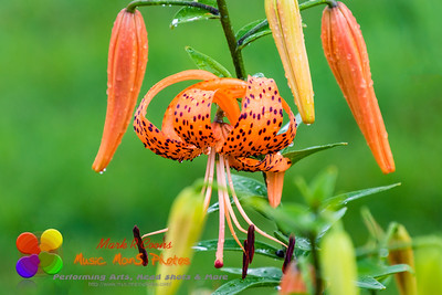 wet tiger lilies after the rain had stopped