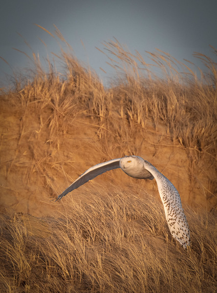 _5004590-Edit Snowy Owl repo over hill departure.jpg