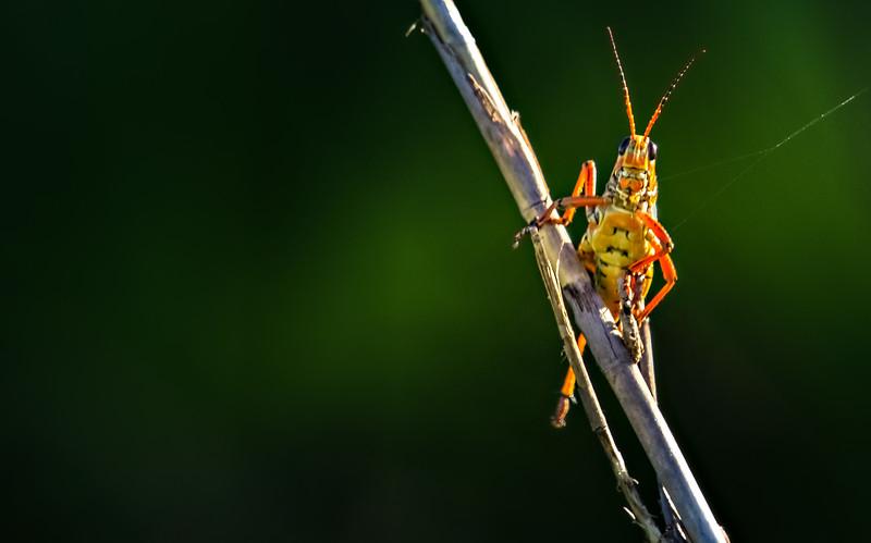 Grasshoppers 82.jpg