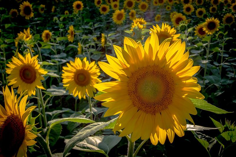 Sunflower Sunset #1-5550.jpg
