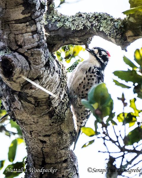 _DSC6021Nuttall's Woodpecker.jpg