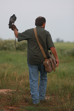 Bogey - Male Canadian Anatum Peregrine Falcon