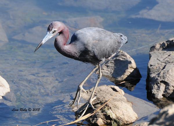 San Diego Audubon Robb Field outing - 9/7/2013