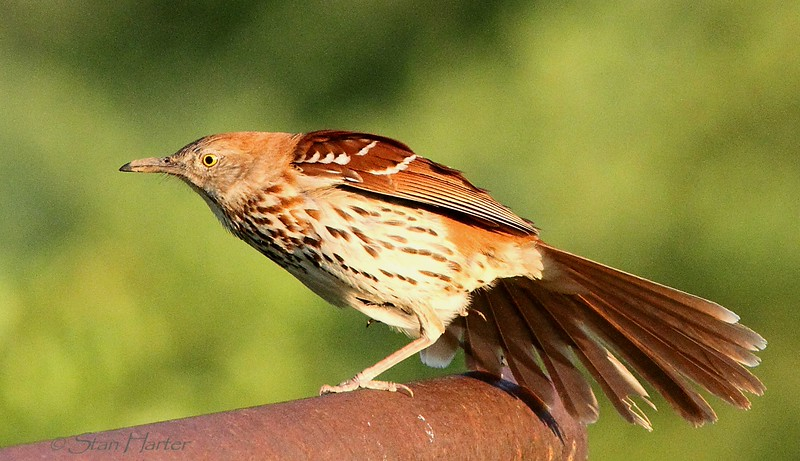 Brown Thrasher2.jpg