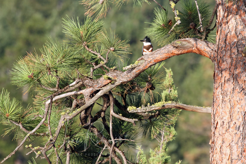 First Belted Kingfisher of the season