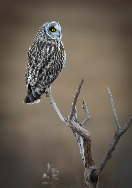 Short-eared Owl on Tree
