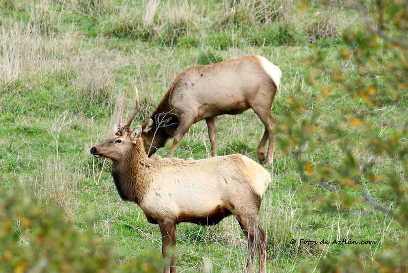 Elk IMG_0642.jpg