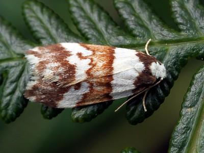 subfamily Lithosiinae