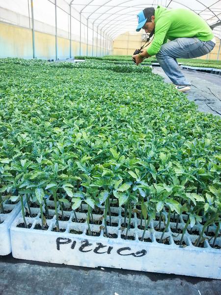 calemone plants 8.jpg