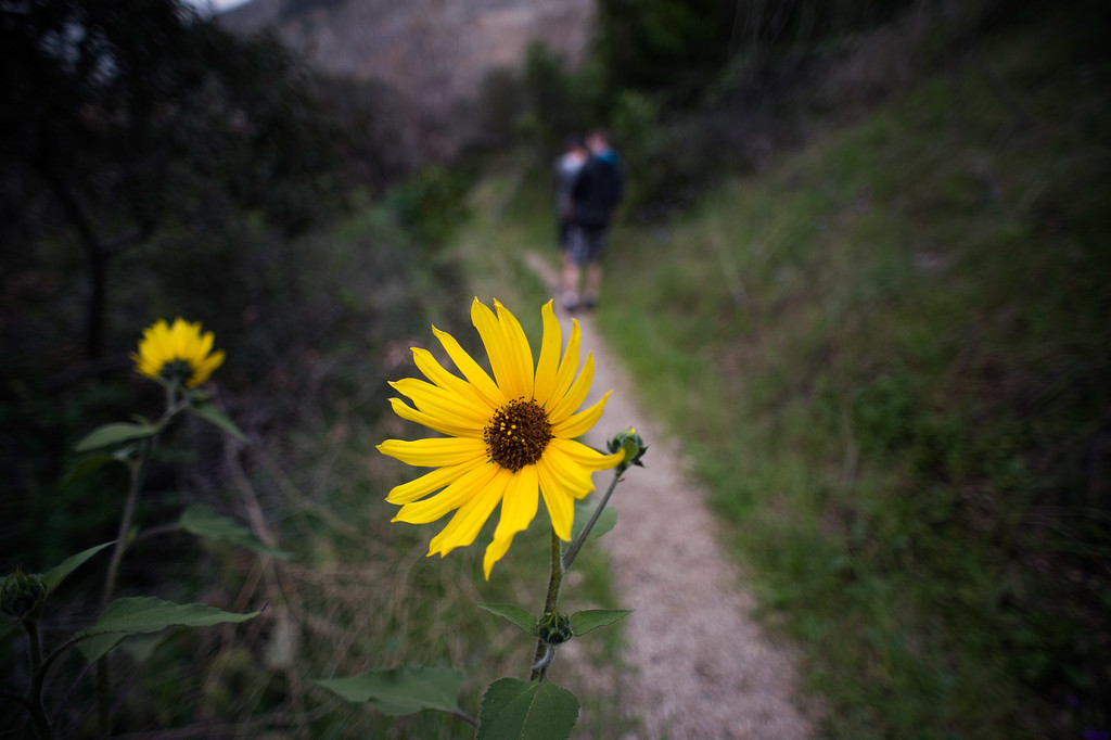 . Sunflowers along Fish Canyon Falls trail in Angeles National Forest on Friday, February 27, 2015. Duarte received a $25,000 grant from Los Angeles County to rehabilitate the trail. (Photo by Sarah Reingewirtz/Pasadena Star-News)